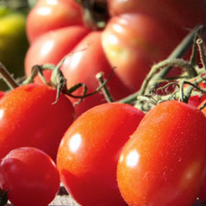 tomaten tipps s en pflanzen pflegen ernten waschb r. Black Bedroom Furniture Sets. Home Design Ideas