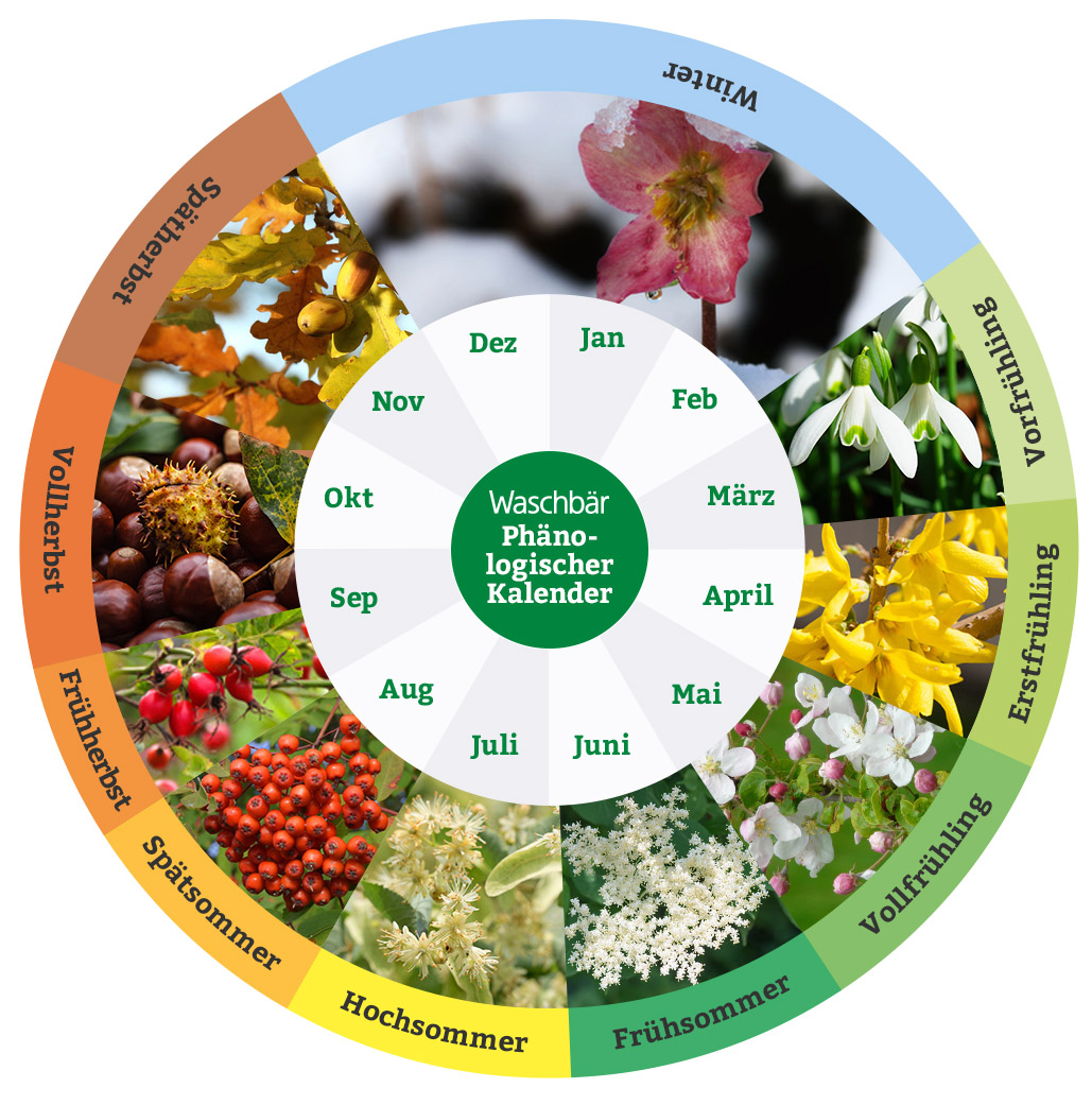Phänologischer Kalender Praktischer Gartenkalender Waschbär