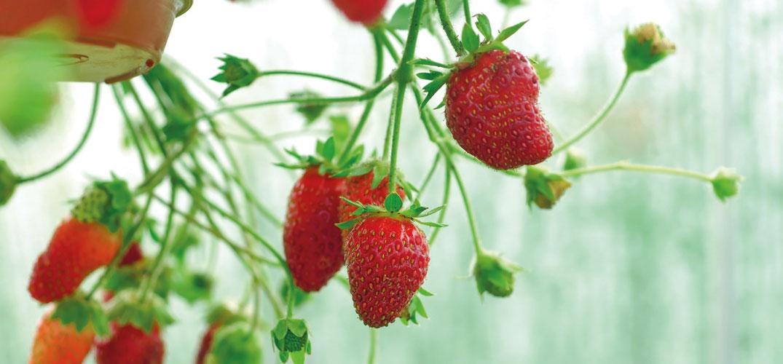 Waschb r garten tipps erdbeeren ausgeizen for Garten tipps