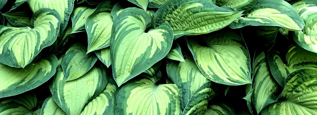schattenpflanzen schattenpflanzen