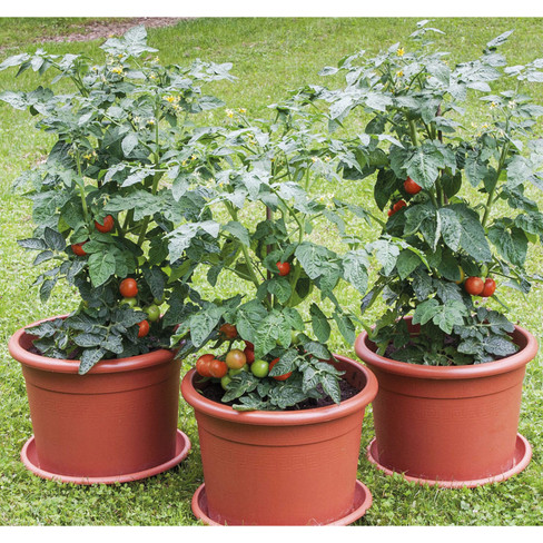 Tomaten ´´Rotkäppchen und Co.´´ 3er Set